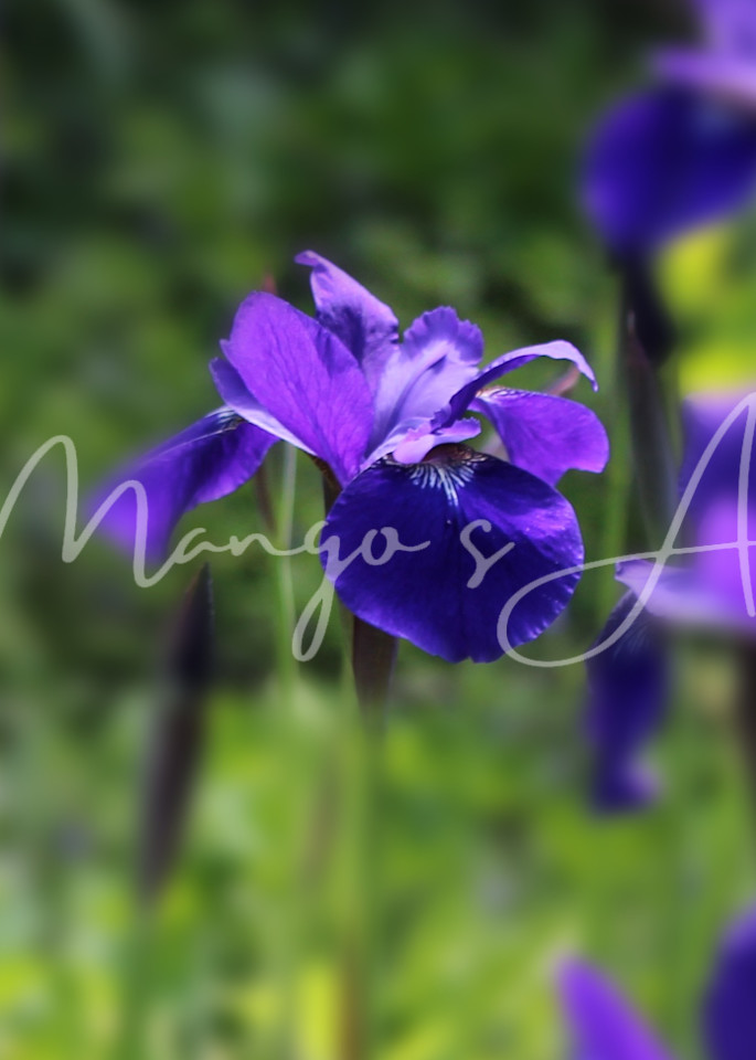 Purple Iris Photography Art | MangosArt