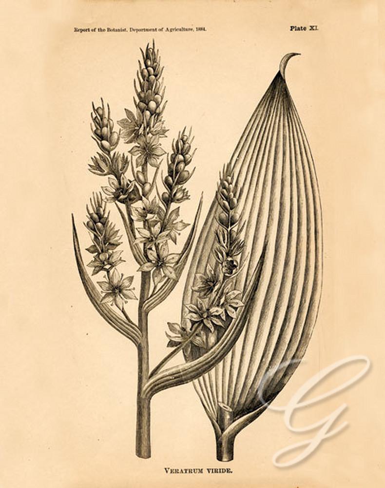 Vintage Botanical IV