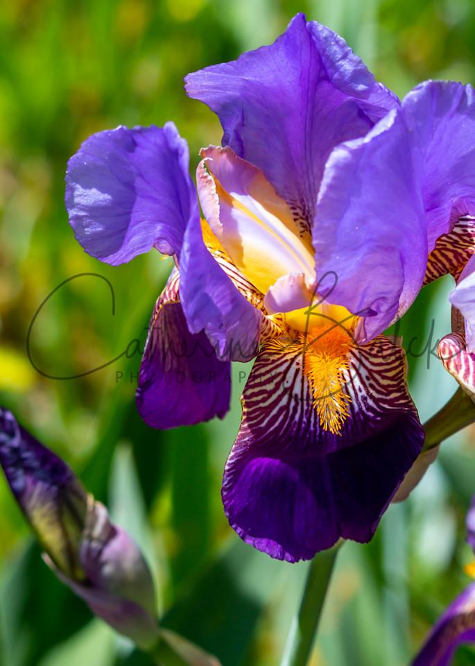 Gorgeous Purple Bearded Iris Photography Art | Catherine Balck Photography