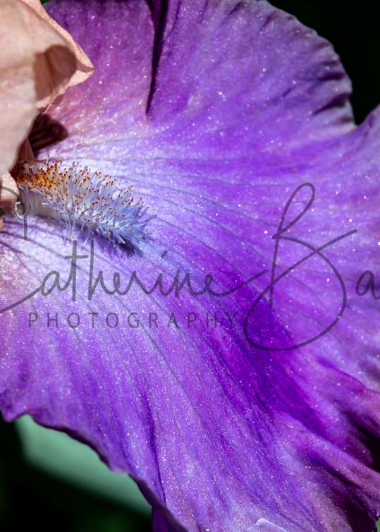 Dazzling Iris Macro Photography Art | Catherine Balck Photography