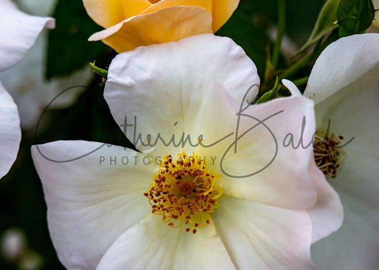 Rose Bud & Blossom
