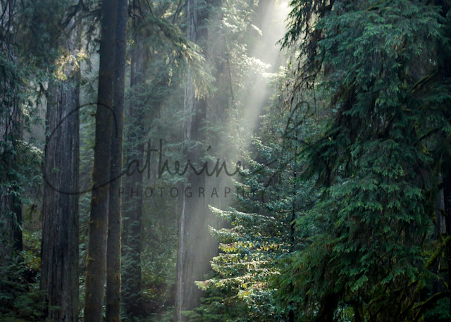 Sunbeams In The Redwood Forest Photography Art   Catherine Balck Photography