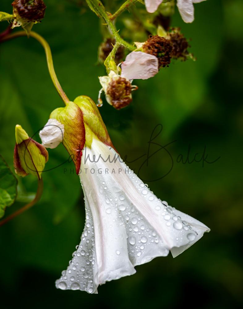 Raindrops On Coastal Morning Glory Photography Art   Catherine Balck Photography