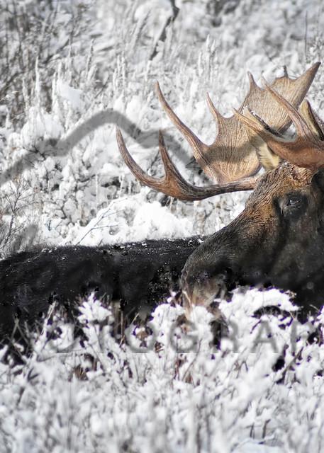 Snow Moose, Jackson Hole, WY