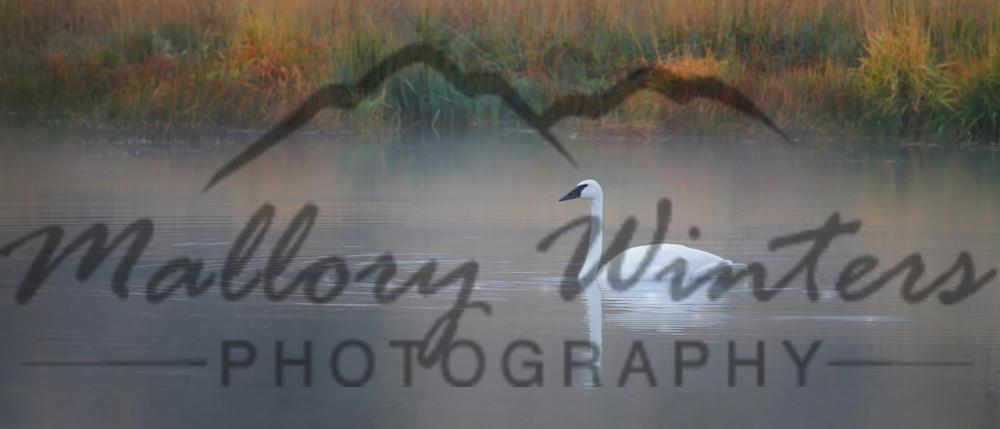 """Swan, """"Peace"""", Jackson Hole, WY"""
