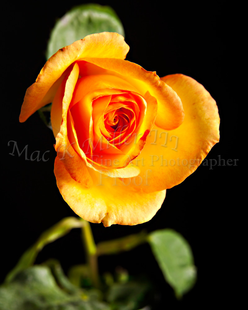 Yellow Rose Wall Art on Black 1625.05