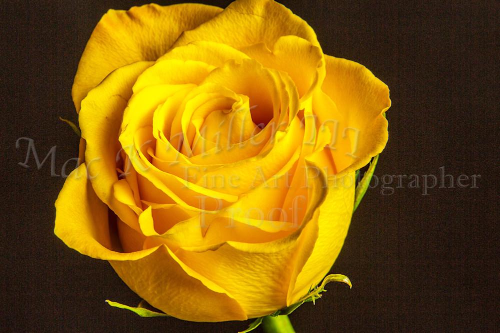Yellow Rose Image On Black Wall Art 1625.01