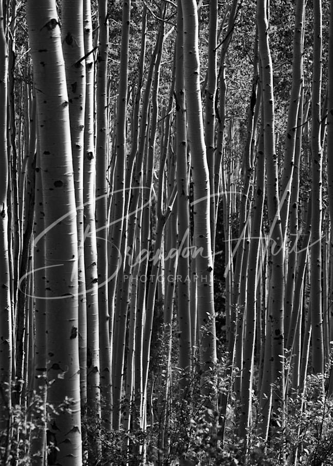 Aspens  Art | Brandon Hirt Photo