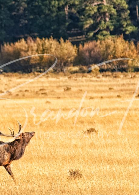 Elk Buggle Art | Brandon Hirt Photo