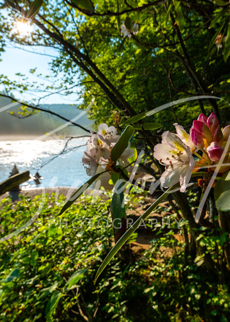 rhododendron blooming along the Youghiogheny