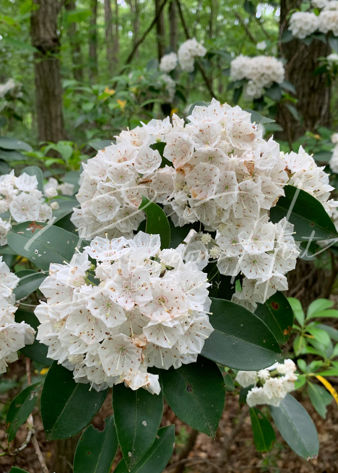 Mountain Laurel blooming at Blue Knob State Park