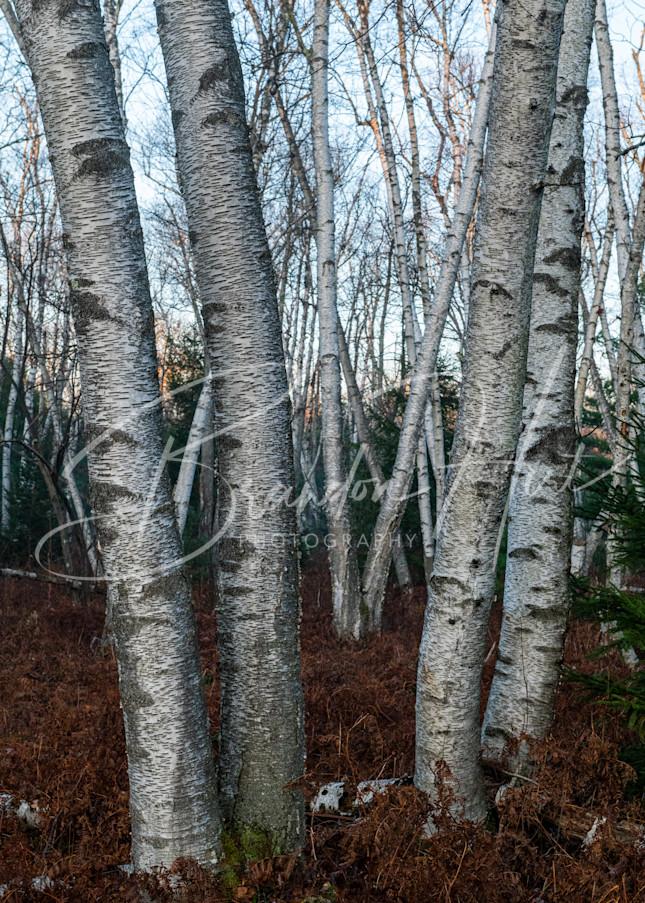 Birch tree in the Quehanna Wild Area of Pennsylvania