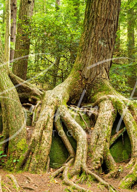 Cook Forest Roots Art | Brandon Hirt Photo