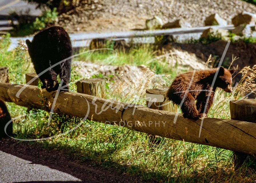 Yellowstone Bears Art | Brandon Hirt Photo