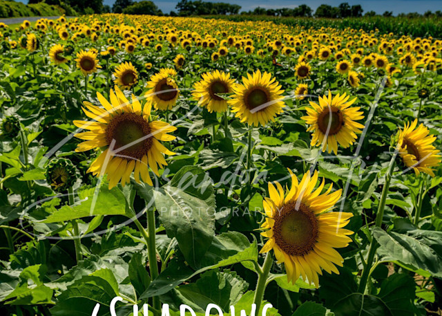 Maryland Sunflowers Art | Brandon Hirt Photo