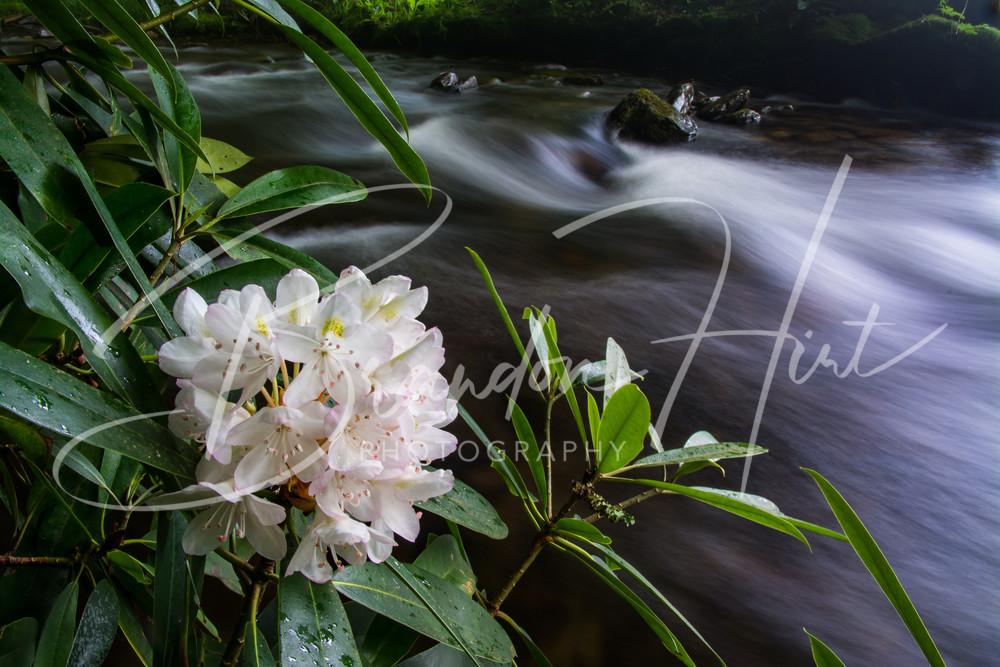Rhododendron blooming along Cataloochee River in North Carolina