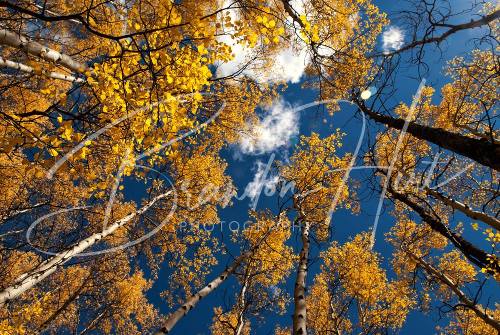 Colorado Aspens Art   Brandon Hirt Photo