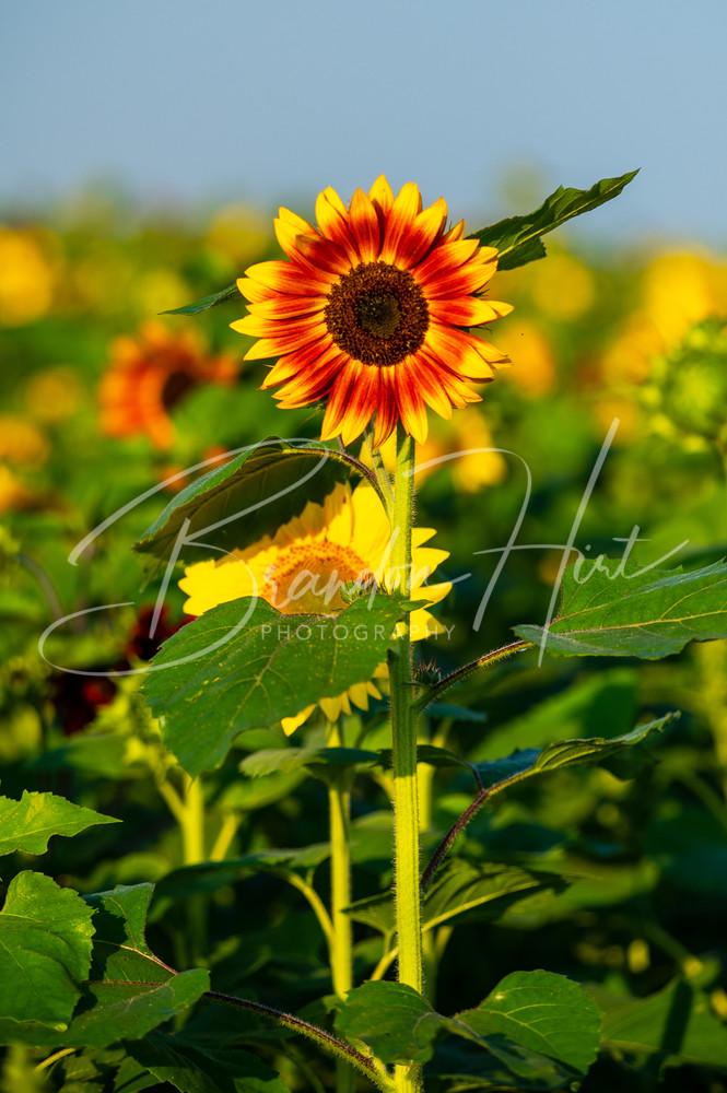 Sunflower blooming in Pennsylvania field