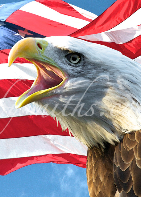 Bald Eagle Screaming   Art By Smiths - Wildlife Photography