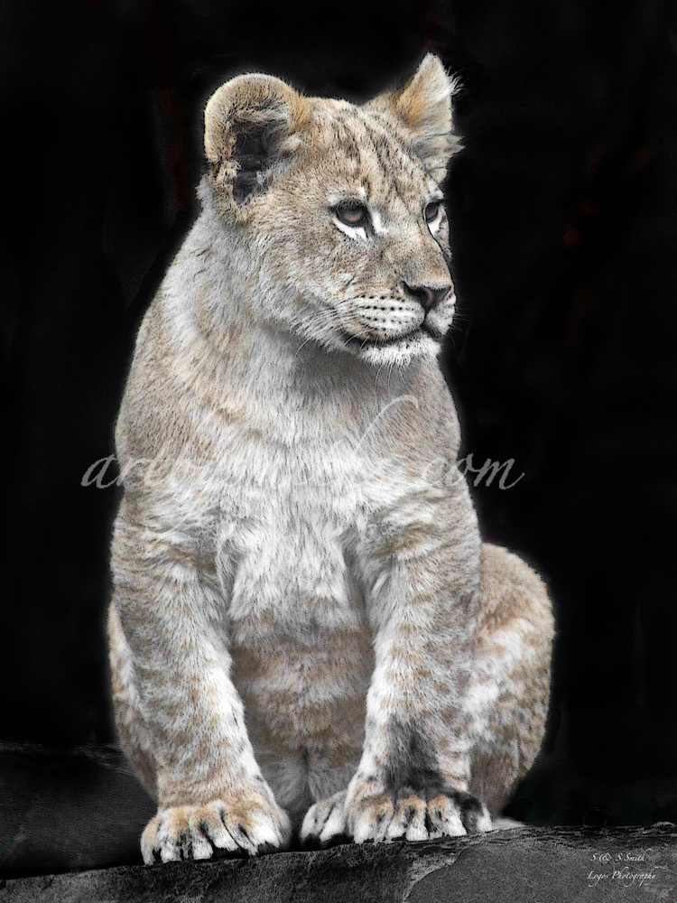 Lion Cub   Wildlife Photography - Art By Smiths