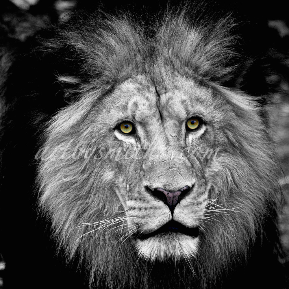 The King Emerges | Wildlife Photography ( Black and White) - Art By Smiths