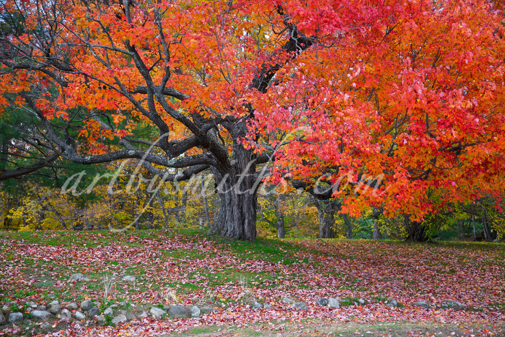 Sugar Maple Tree   Luscious Landscapes and Special Scenery - Art  By Smiths