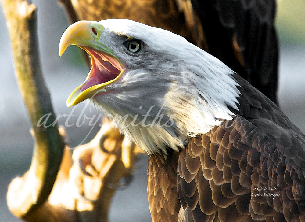 Screaming Eagle   Art By Smiths - Wildlife Photography