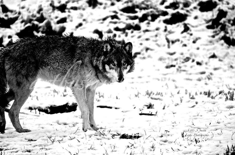 Hershey Wolf in Snow | Wildlife Photography - Art By Smiths