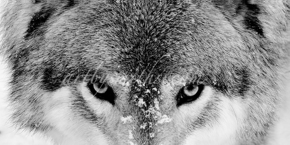 Lakota Timber Wolf Eyes | Art By Smiths - Wildlife Photography