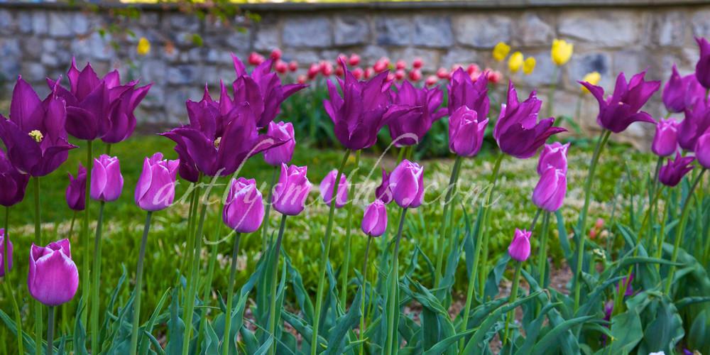 Purple Tulips | Wonderful World of Flowers Photography - Art By Smiths