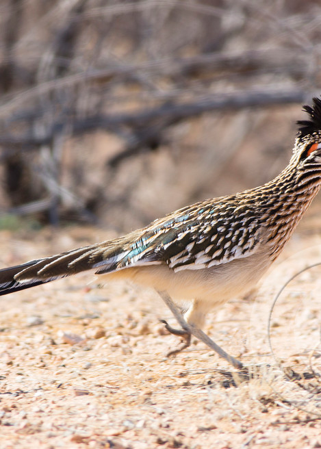 Greater Roadrunner Art Prints