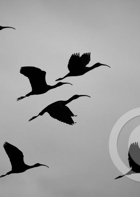 Ibis Birds Art Prints