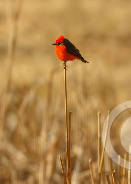 Red Vermilion Flycatcher Bird Art Prints