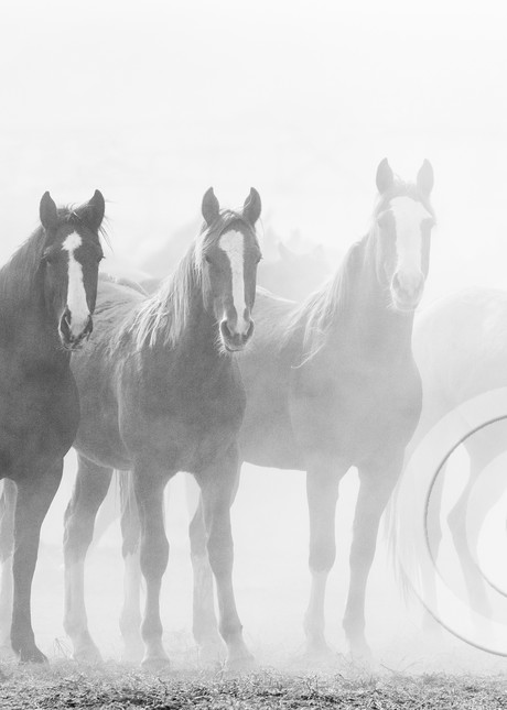 Fade Out Black and White Horse Art Prints