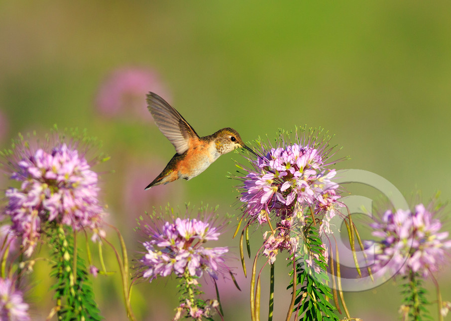 Hummingbird Art Prints