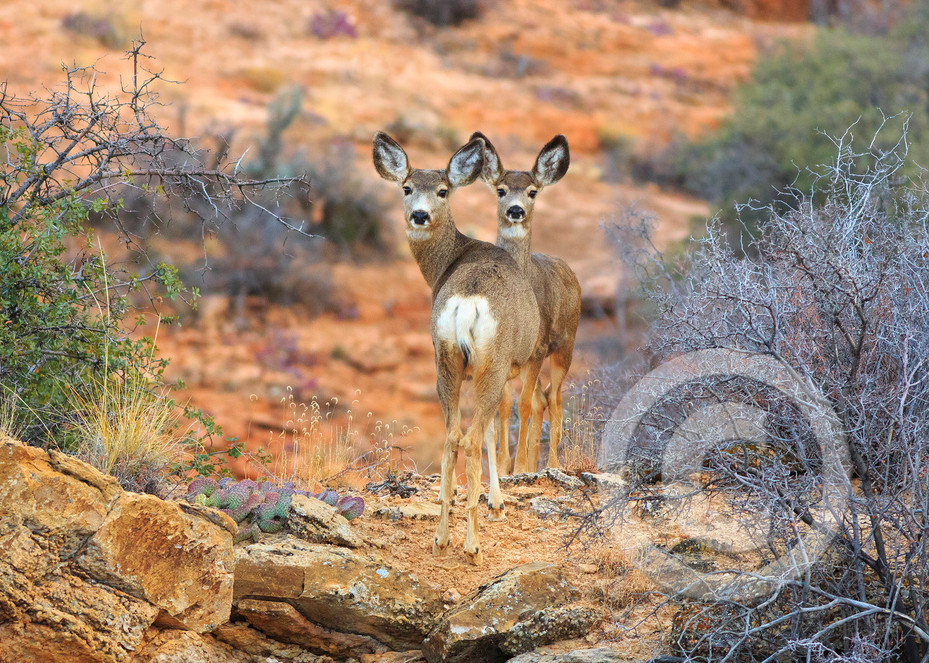 Moccasin Mule Deer Art Photo