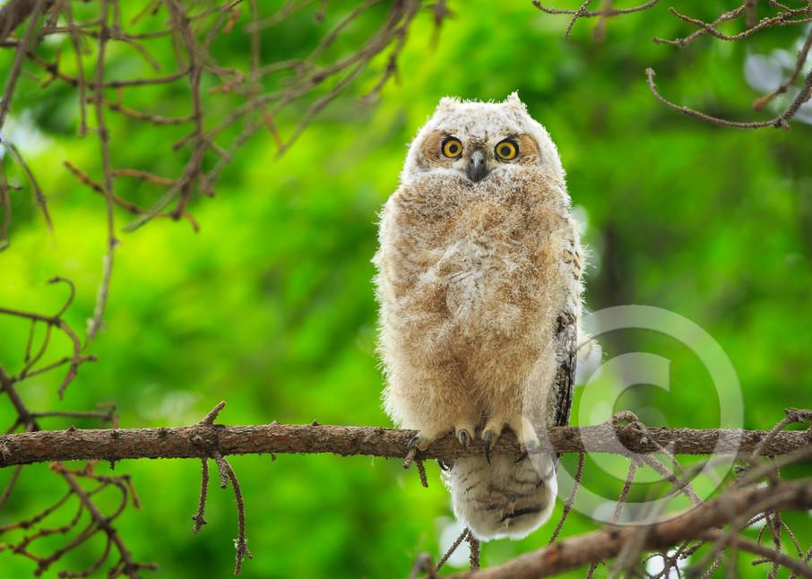 Great Horned Owl Art Prints