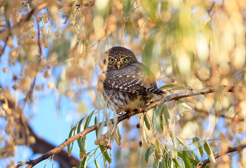 Northern Pygmy Owl Art Prints