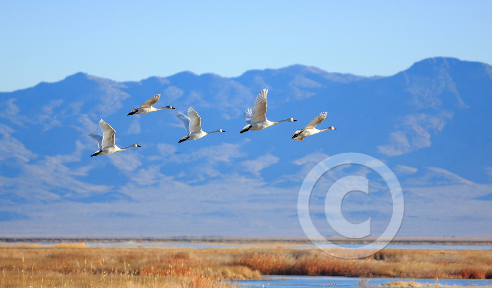 Fish Springs Tundra Swans Art Prints