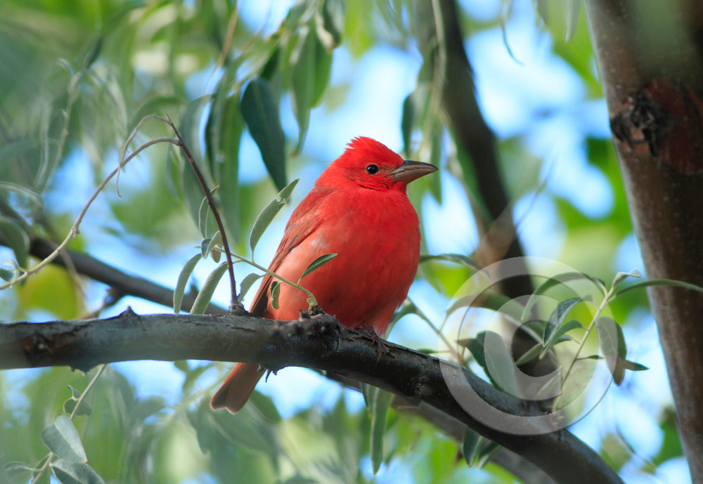Red Summer Tanager Art Prints