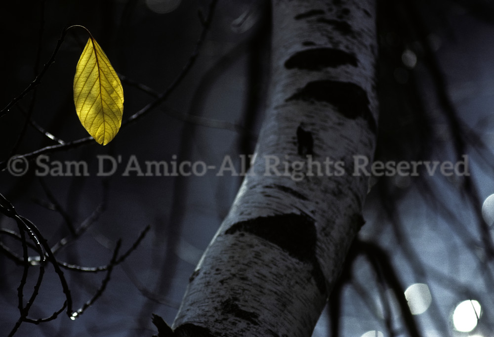 White Birch Tree And Yellow Leaf In Autumn.