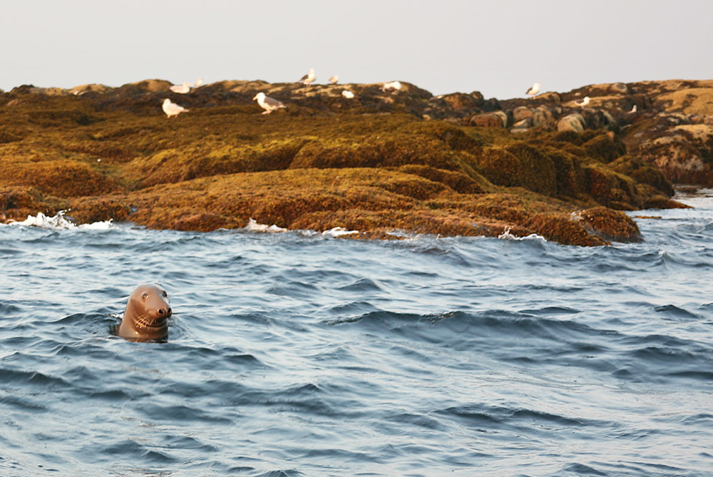 seal rocks salvages gulls rockport