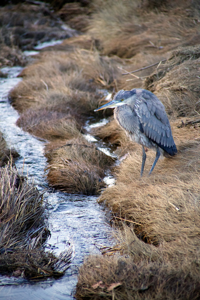 Great Blue Heron Marsh Stream