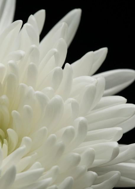 Beckoning (White Chrysanthemum)