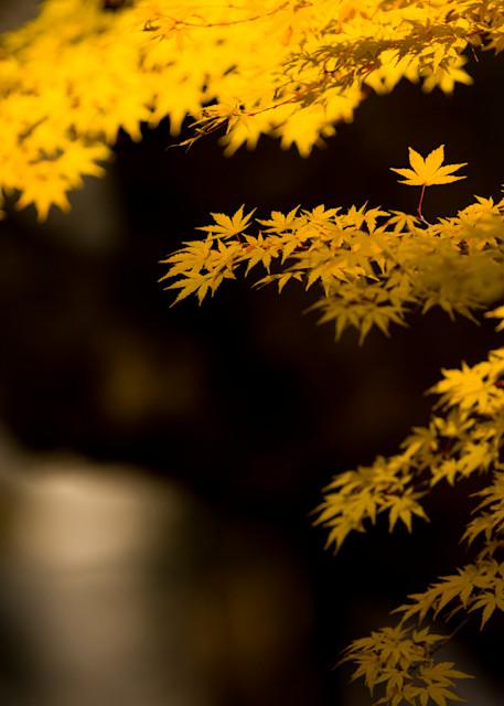 Yellow Momiji