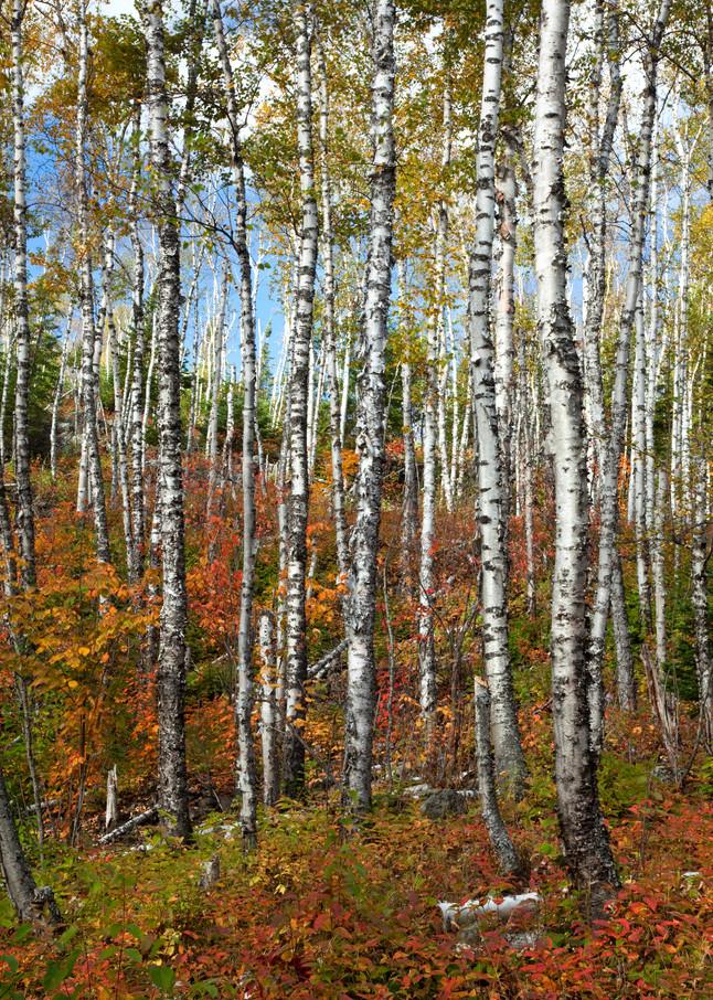 Split Rock Birch Trees