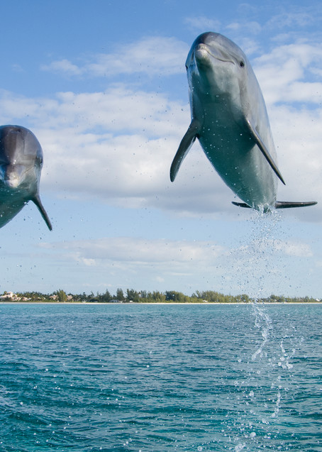 Grand Bahama Island, The Bahamas; two Common Bottlenose Dolphins (Tursiops truncatus) leaping out of the water in unison