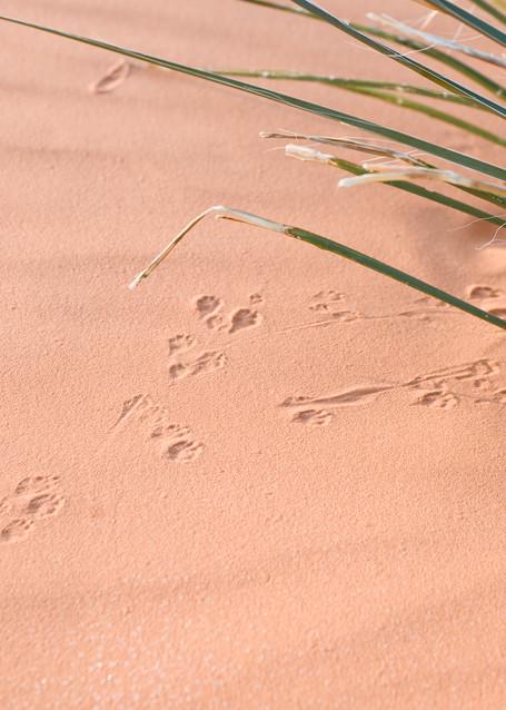 Ord's Kangaroo Rat Tracks, Coral Pink Sand Dunes State Park, Utah