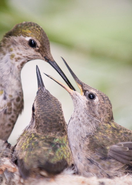 Anna's Hummingbird Chicks Feeding, La Jolla, California