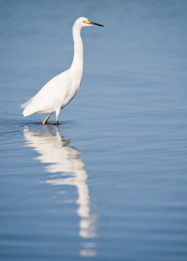 Snowy Egret, Sanibel Island, Florida